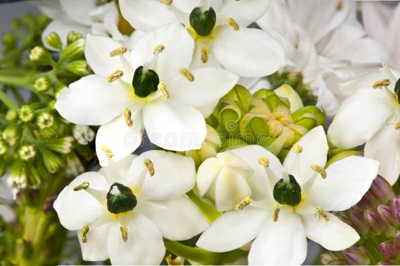 Ornithogalum kwiaty zdjęcie stock