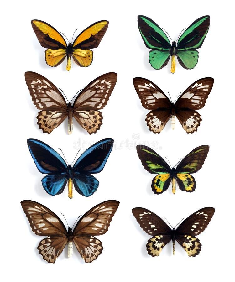 Ornithoptera (paneel) vector illustratie