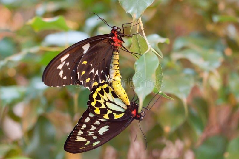 Ornithoptera priamus Basisrecheneinheitsanschluß stockbild