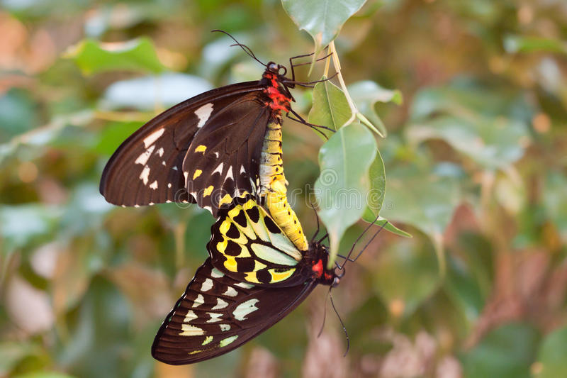 Ornithoptera priamus butterflies mating stock image