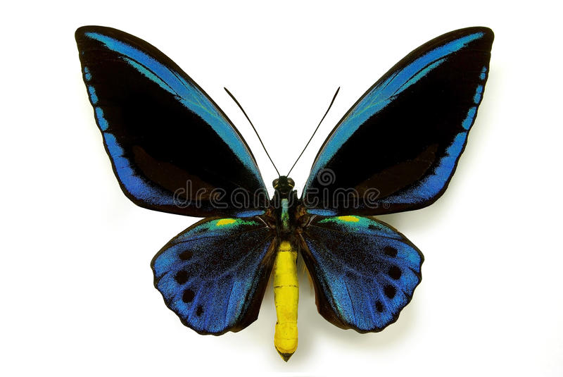 Ornithoptera priamus urvilleanus stockbilder
