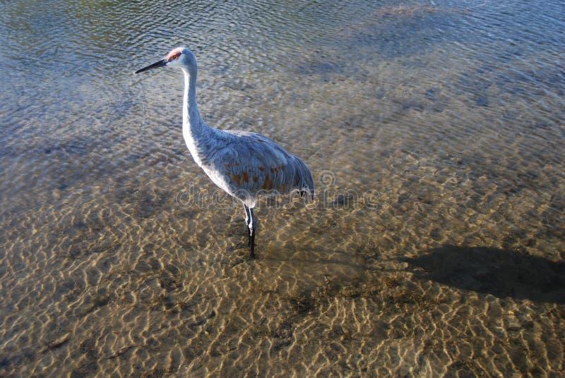 Ornitologia interna do lago fotos de stock