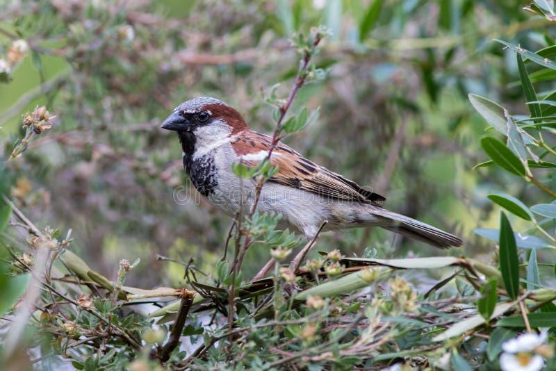 Ornitologia urbana della fauna selvatica Passero maschio in una barriera del giardino immagini stock