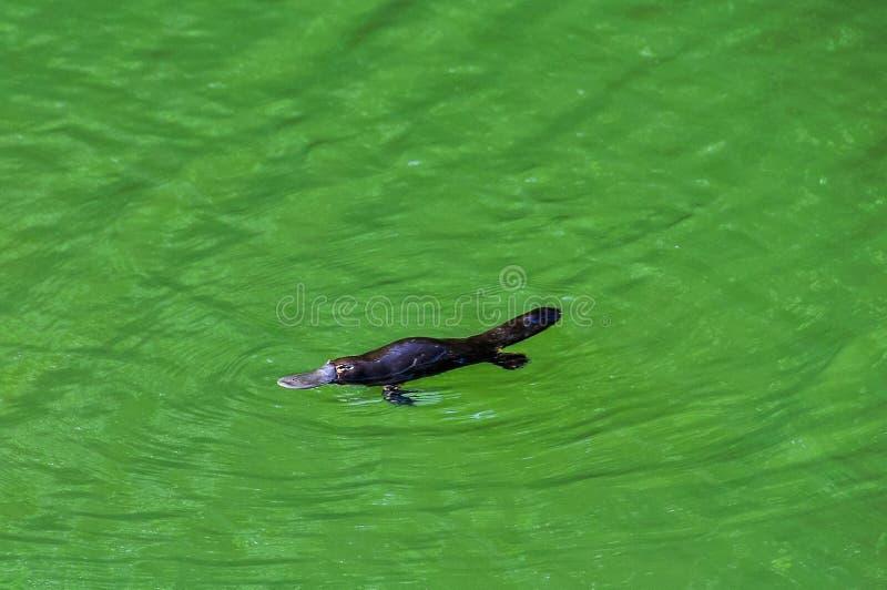 Ornitorinco in altipiani di Atherton, Australia immagini stock