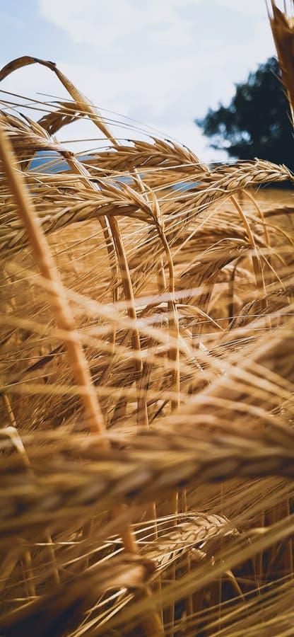 Oro dell'Erzegovina, grano nel giacimento dell'oro fotografia stock