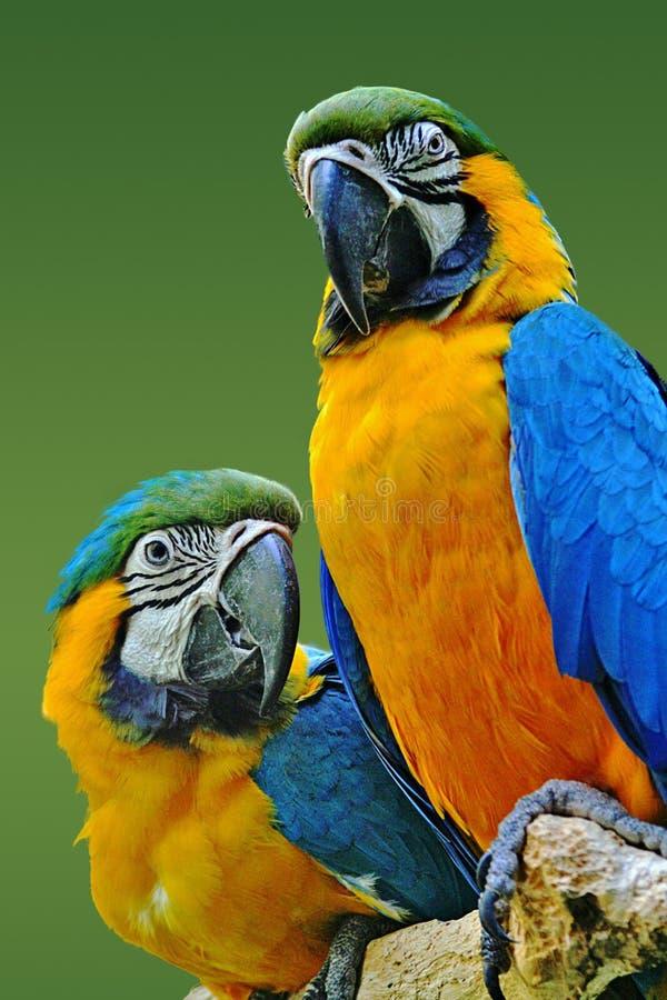 Oro dos y macaws azules imagen de archivo libre de regalías