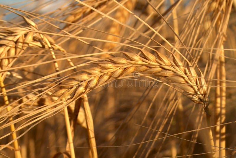 Oro II delle nature fotografie stock