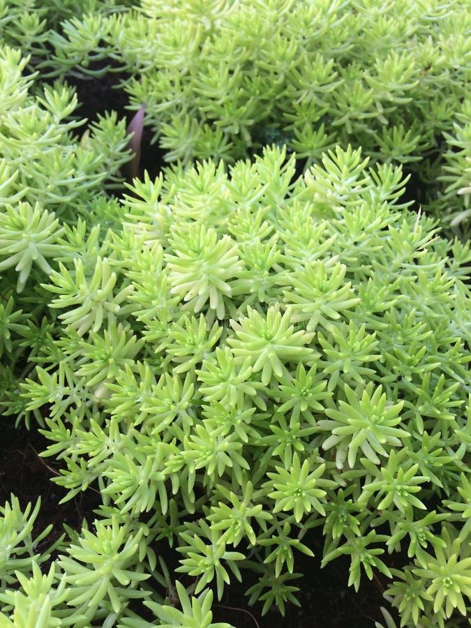 Download Oro Moss Sedum imagen de archivo. Imagen de musgo, granja - 64204819
