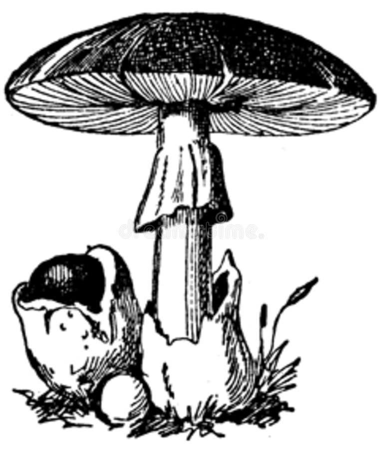 Oronge Vraie Free Public Domain Cc0 Image