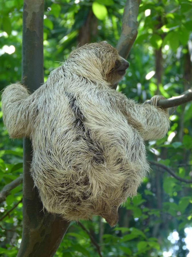 The hard life of a baby sloth. An orphan baby sloth is exercising her skills in climbing royalty free stock photo