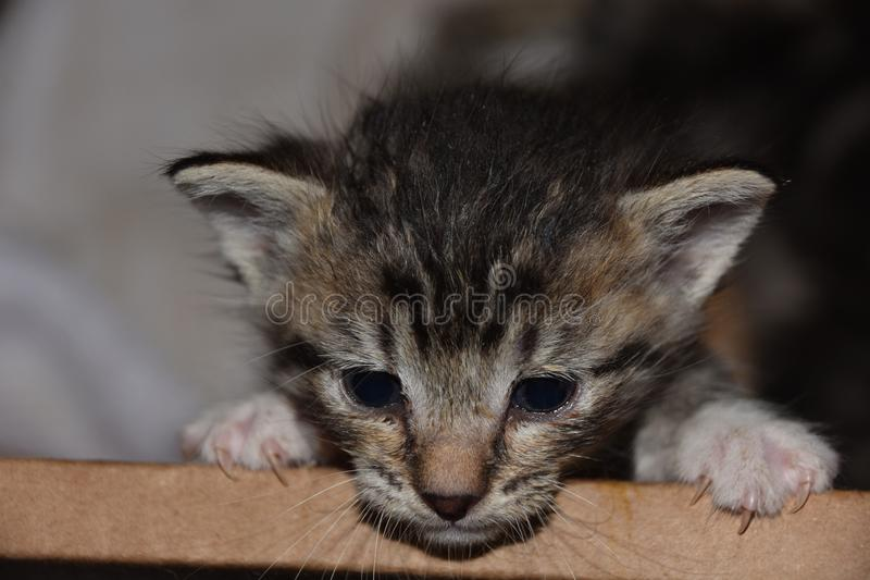 Escape from the Box; Bottlefed Kitten Angst at Feeding time royalty free stock photography