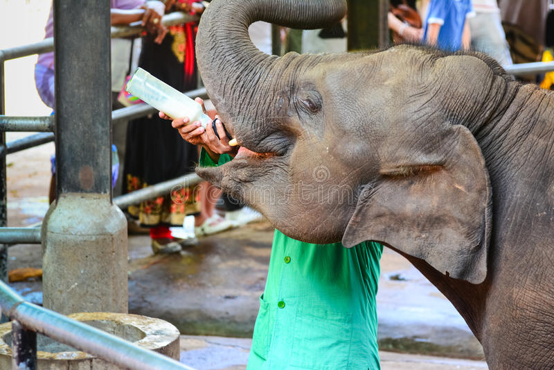 Orphaned Baby Elephant Being Feed With Milk. At Pinnawala Elephant Orphanage, Sri Lanka. Pinnawala Is An Orphanage, Nursery And Captive Breeding Ground For Wild royalty free stock image
