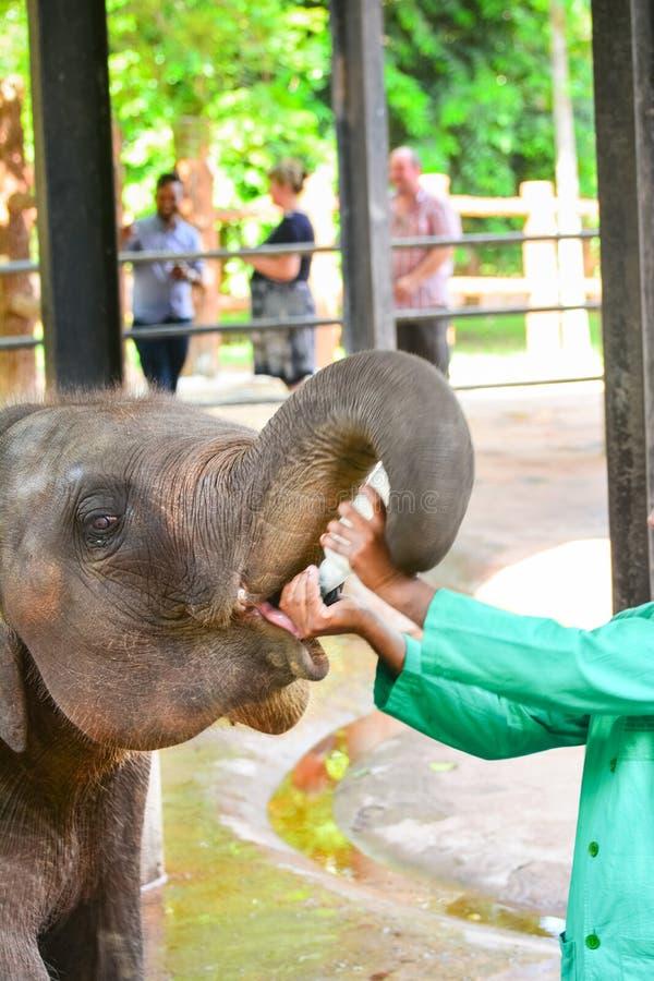 Orphaned Baby Elephant Being Feed With Milk. At Pinnawala Elephant Orphanage, Sri Lanka. Pinnawala Is An Orphanage, Nursery And Captive Breeding Ground For Wild royalty free stock photo