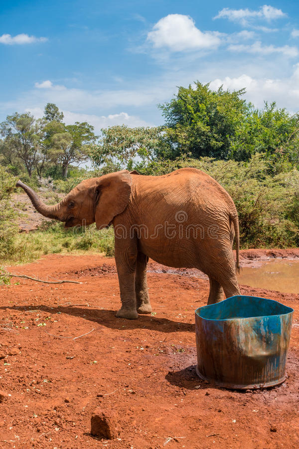 Orphaned baby elephant raises snout. An orphaned baby elephant raises snout at the David Sheldrick Wildlife Trust, a park that takes cares of orphaned baby royalty free stock images