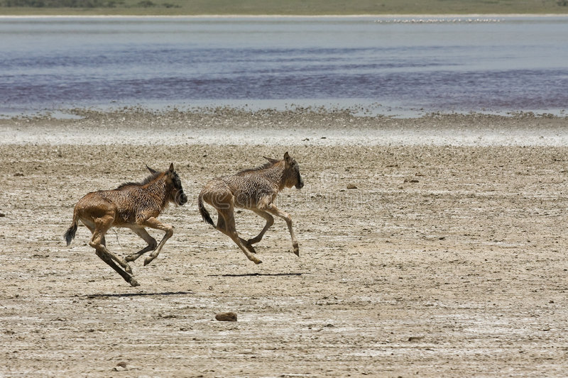 Orphaned Baby Wildebeests Running in Serengeti stock images