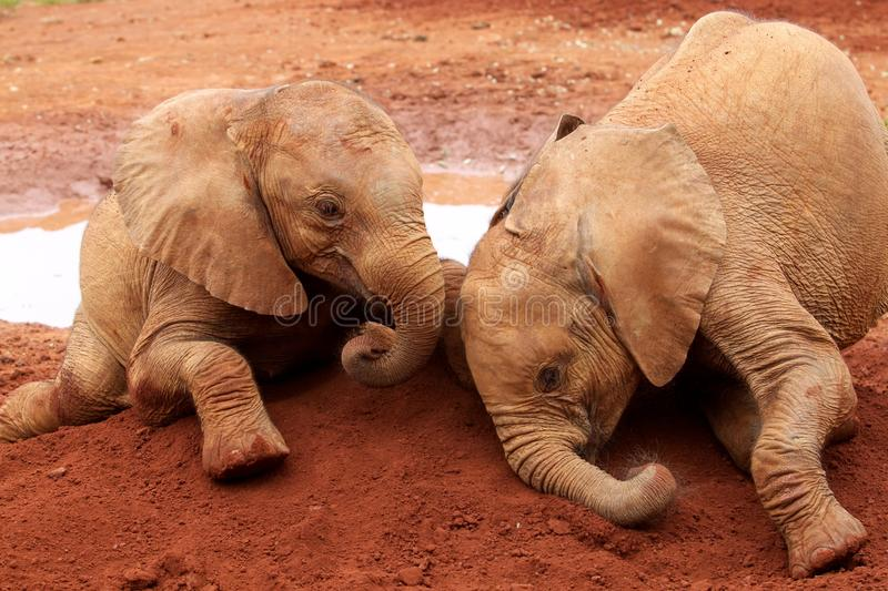 Orphaned elephants. A pair of orphaned elephants at the David Sheldrick elephant sanctuary in Nairobi, Kenya royalty free stock photos