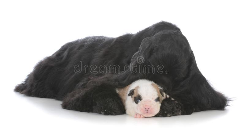 orphaned puppy being raised by surrogate mother stock photo