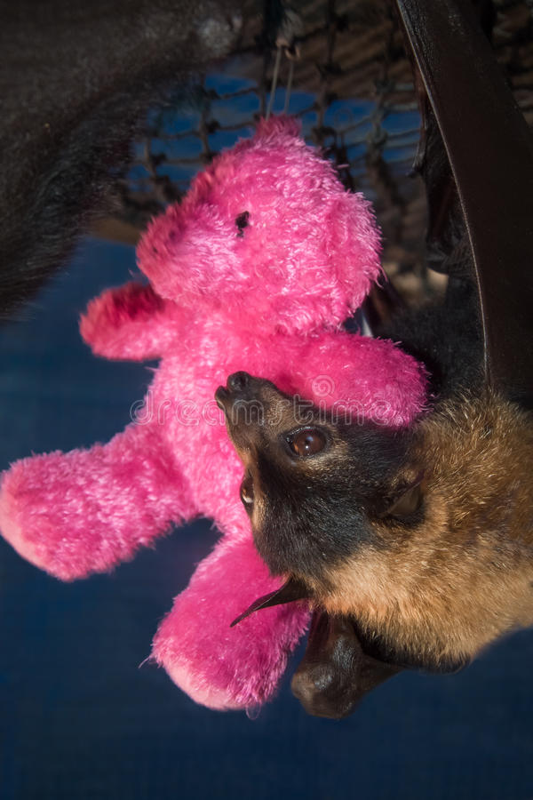 Orphaned Spectacled Flying Fox with Teddy Bear royalty free stock image