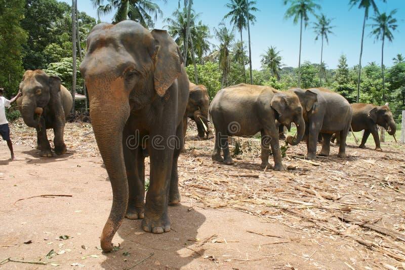 Orphelinat d'éléphant image libre de droits