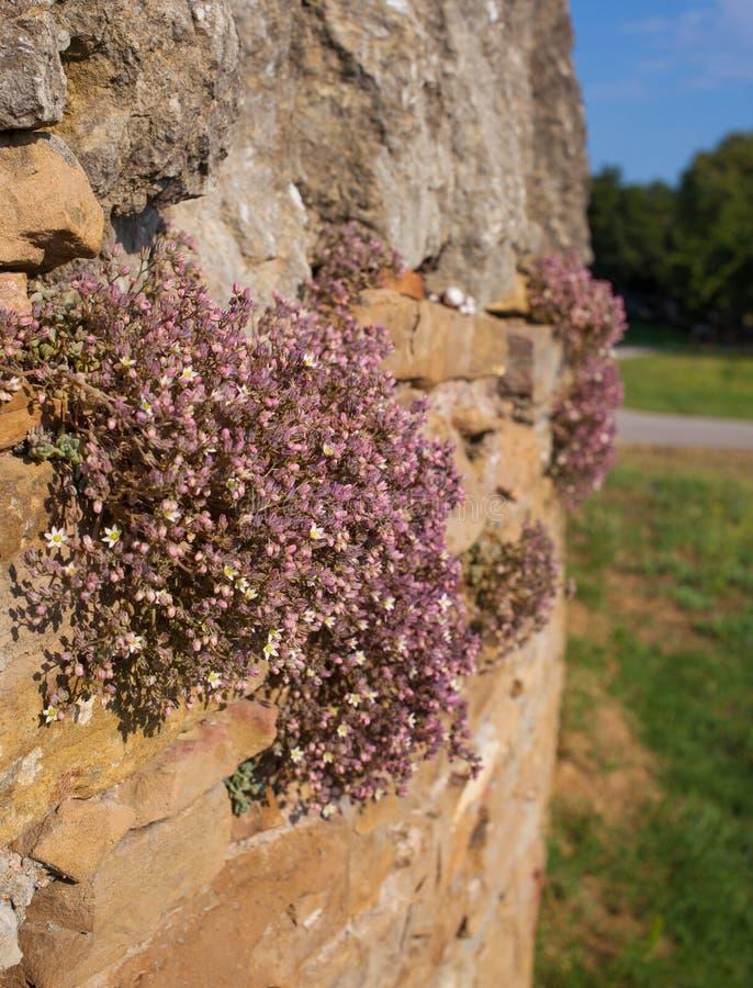 Orpin corse sur le mur sec naturel photographie stock libre de droits