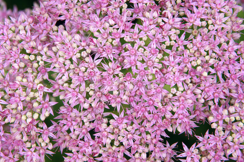 Download Orpin Flowers Royalty Free Stock Photos - Image: 26220488
