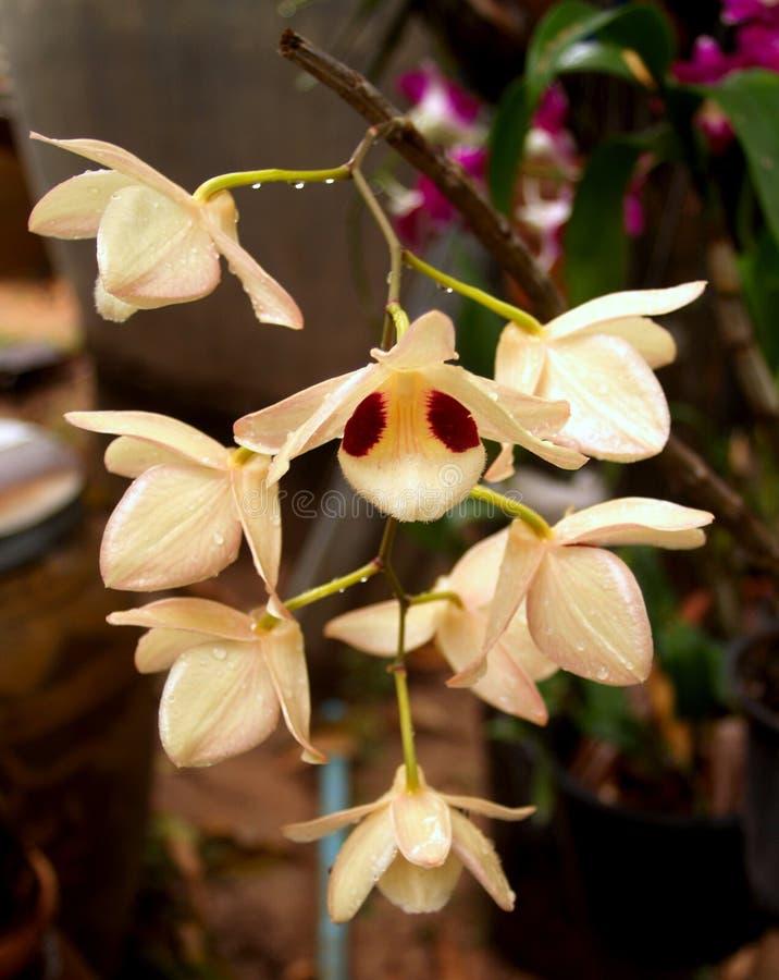 Orquídea 03 imagen de archivo