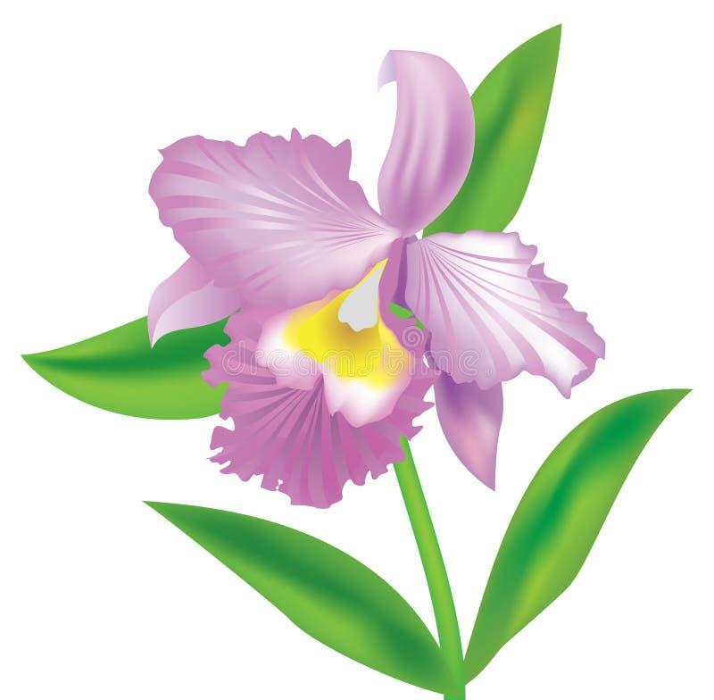 Download Orquídea ilustração do vetor. Ilustração de flor, rosa - 12804629