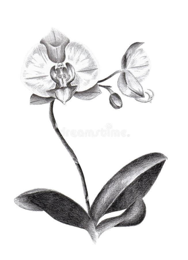 Orquídea ilustração royalty free