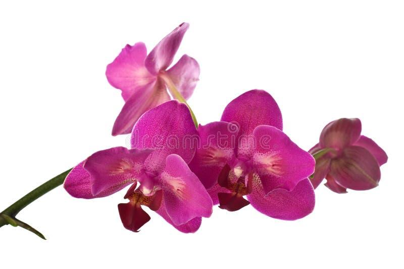 Download Orquídea imagem de stock. Imagem de branco, wellness - 26500659