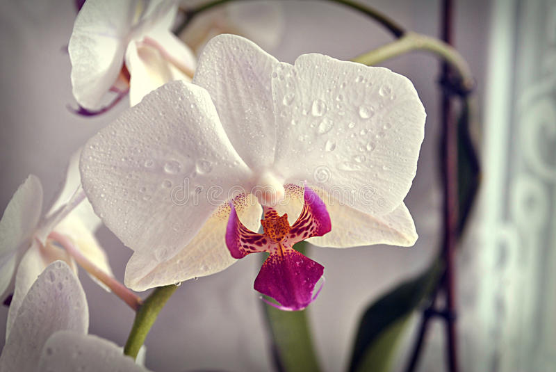 Orquídea 2 imagem de stock