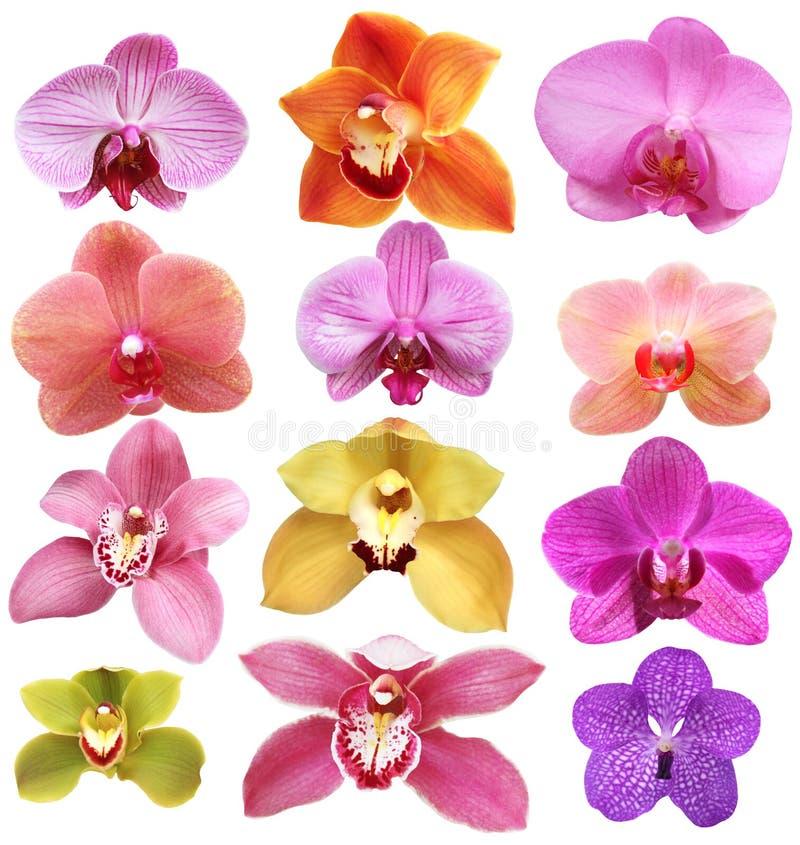 Orquídea aislada en blanco fotografía de archivo