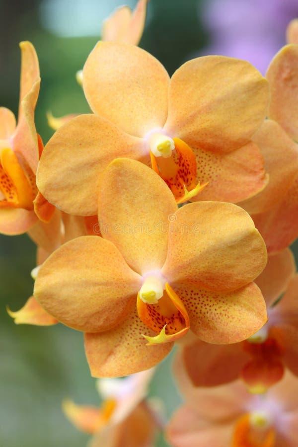 Orquídea alaranjada foto de stock royalty free