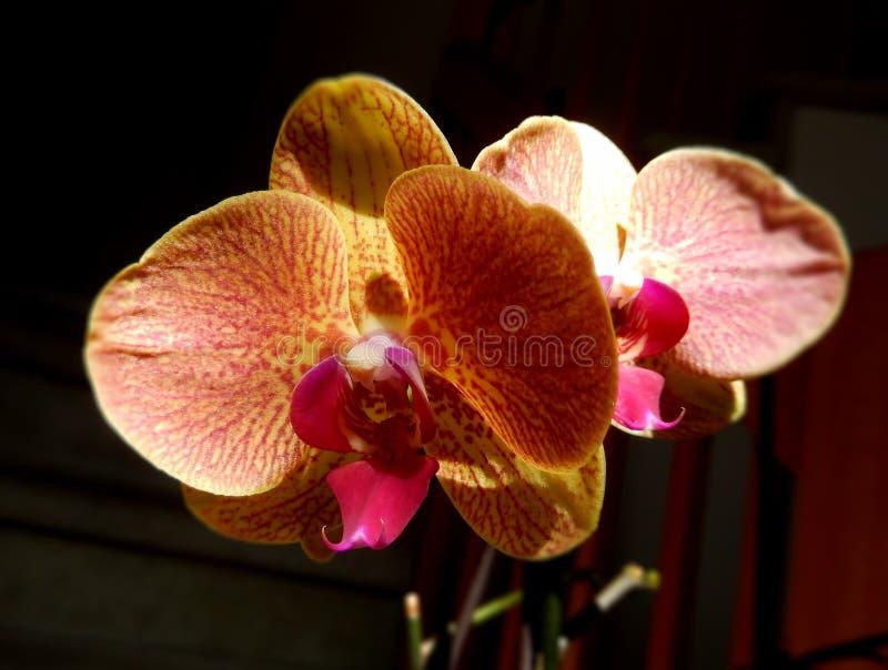 Orquídea alaranjada com uma pétala center vermelha imagem de stock royalty free