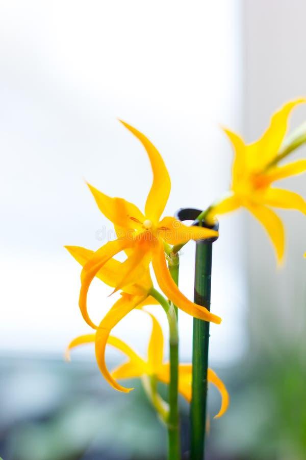 Orquídea amarela do Miltonia, bonito e fresco na janela imagens de stock royalty free