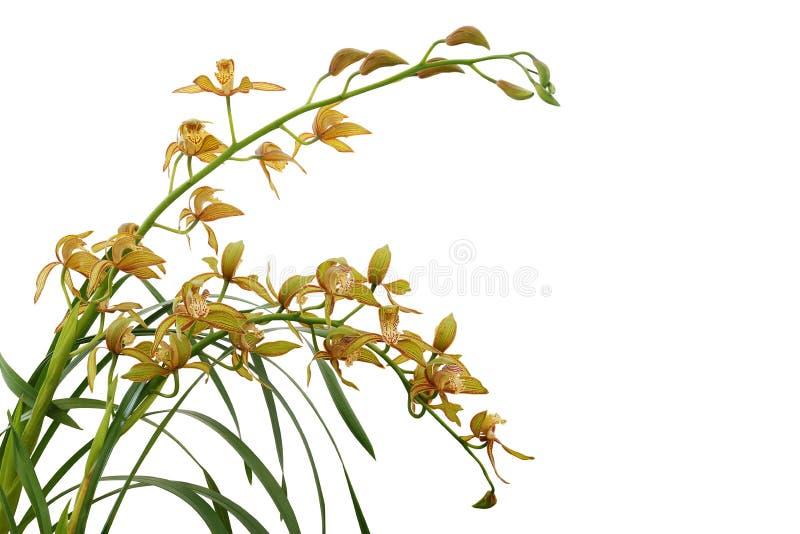 Orquídea amarela dourada com folhas verdes, planta tropical do Cymbidium da flor isolada no fundo branco com trajeto de grampeame fotos de stock royalty free