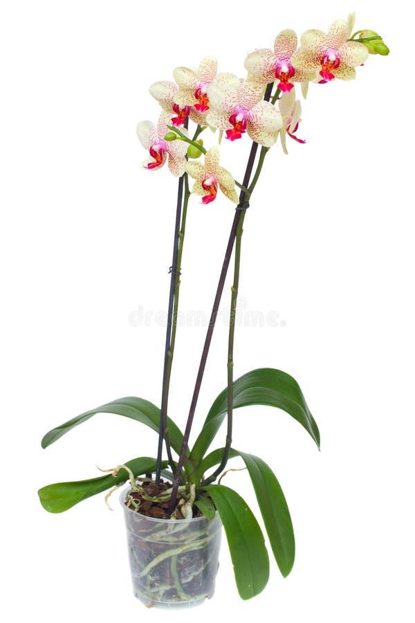 Orquídea amarela e vermelha no potenciômetro foto de stock