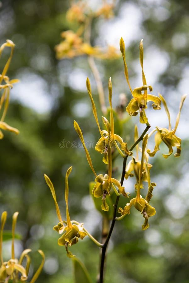 Orquídea amarela estranha bonita fotos de stock