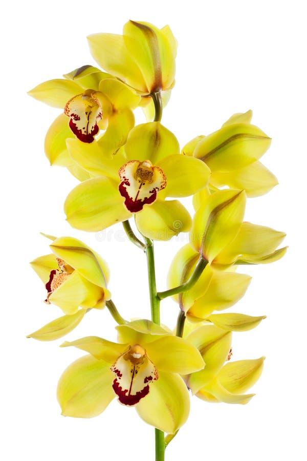 Orquídea amarela isolada imagens de stock royalty free