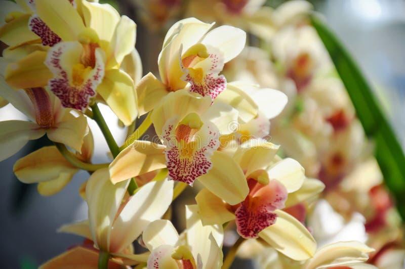 Orquídea amarela na flor no festival 2019 da flor de Chiangmai, Tailândia imagem de stock royalty free