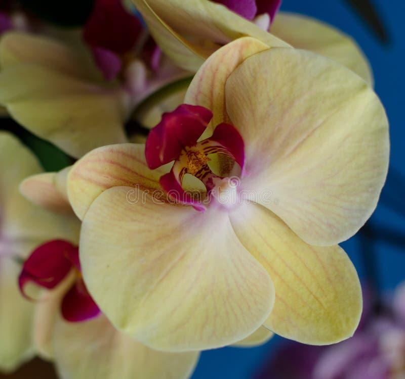 Orquídea amarela no jardim havaiano imagens de stock