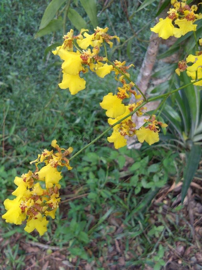 Orquídea amarilla imagen de archivo