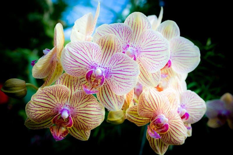 Orquídea amarilla fotografía de archivo libre de regalías