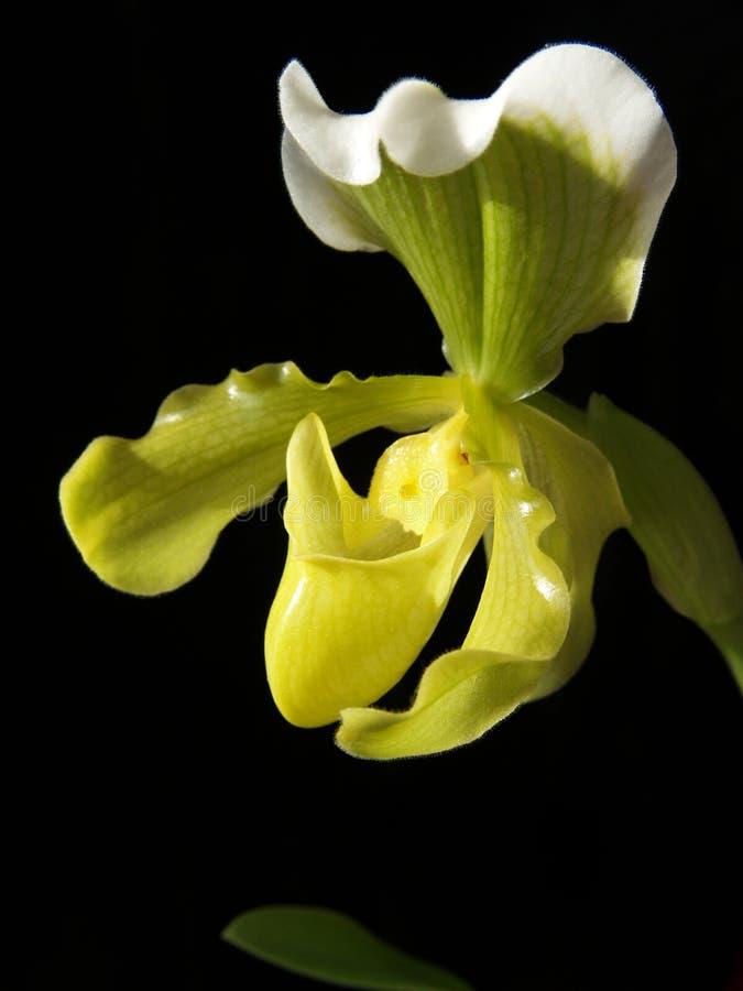 Orquídea amarilla agradable imagen de archivo