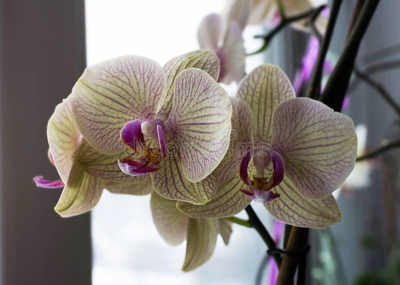 Orquídea amarilla clara en un travesaño de la ventana imagenes de archivo