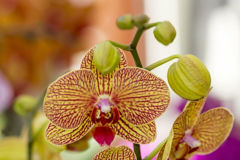 Orquídea amarilla hermosa con las líneas rojas y con los lechones imagen de archivo