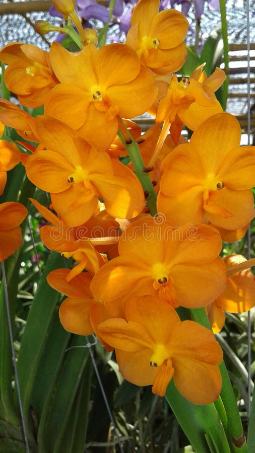 Orquídea anaranjada imagen de archivo libre de regalías