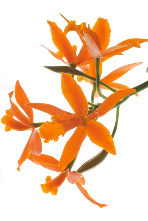 Orquídea anaranjada (Lelia) aislada fotografía de archivo