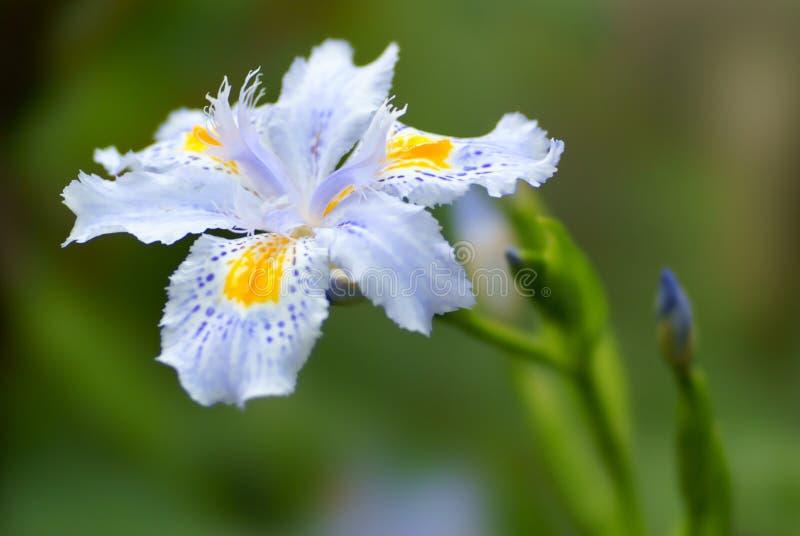 Orquídea azul fotografía de archivo libre de regalías
