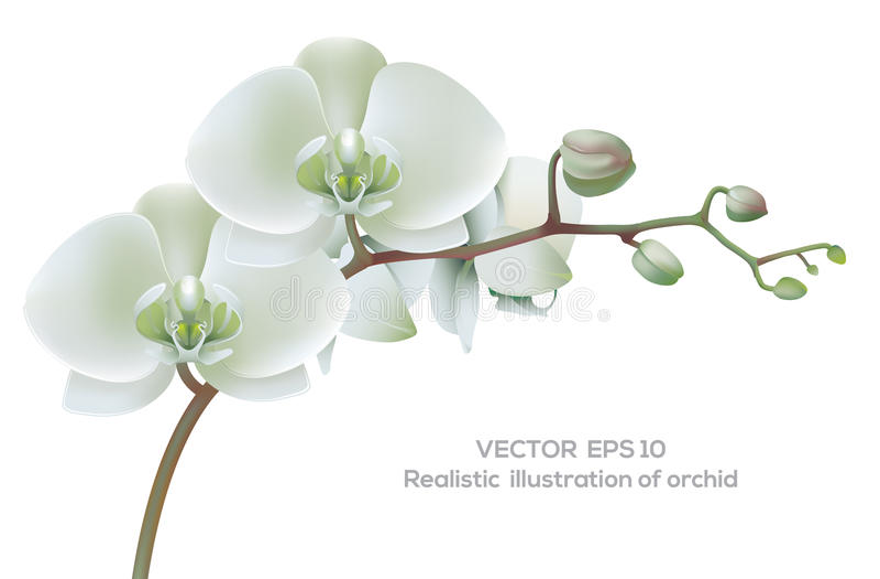 Orquídea blanca libre illustration