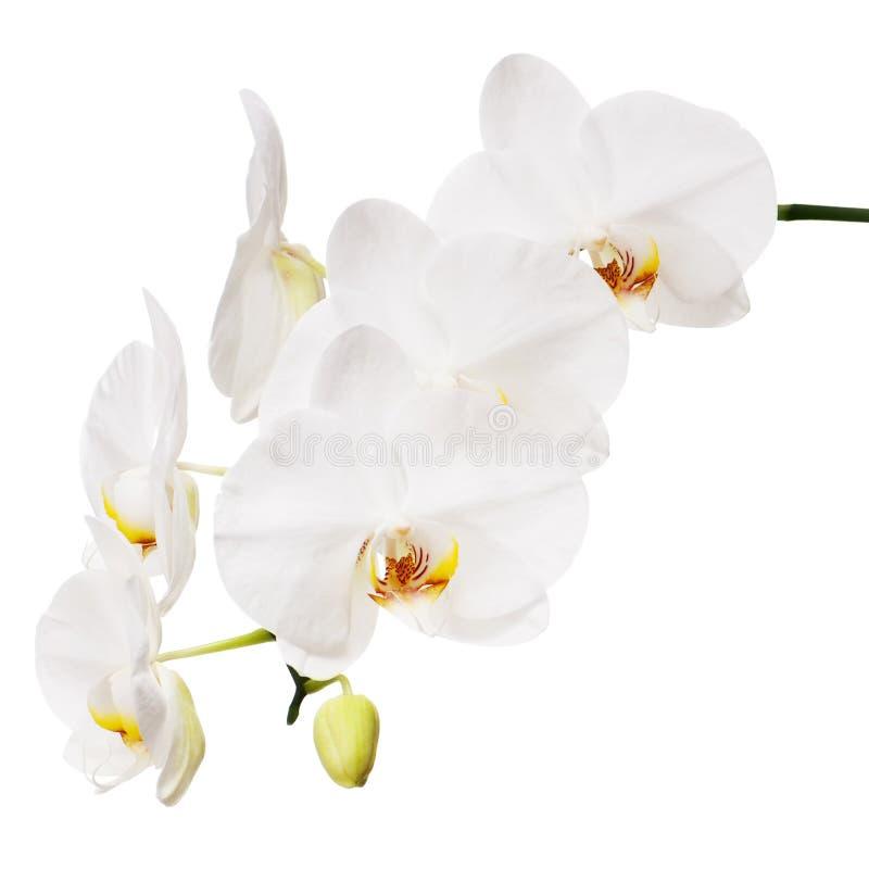 Orquídea blanca aislada en el fondo blanco. imágenes de archivo libres de regalías